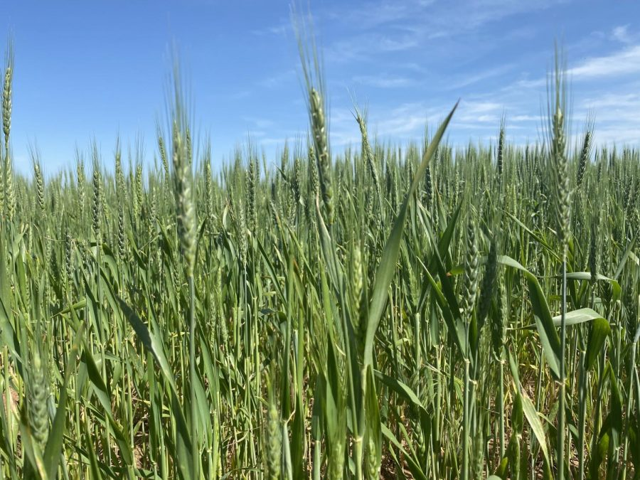 A field of wheat in northern Dewey County, Oklahoma. Wheat watchers are expecting a good harvest despite some fears of loss due to a recent freeze. More should be known later in the week, according to Oklahoma Wheat Commission executive director Mike Schulte.