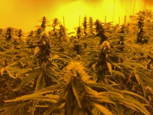 The canopy at Green Sky Pharms in Kingfisher, Okla.. Photo courtesy of Chris McAlvain.