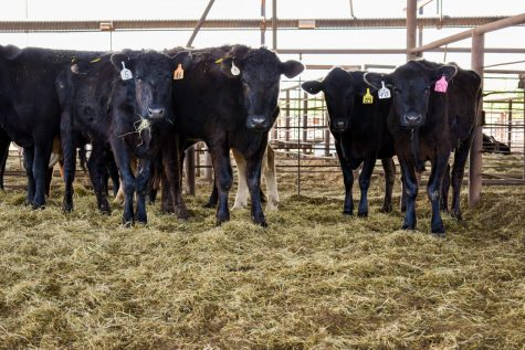 Cattle in a nearly empty stockyards at Mid America Stockyards in Bristow, Oklahoma. (Gaylord News/Brooklyn Wayland)